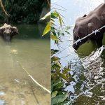 India: elefantessa muore dopo aver mangiato un ananas pieno di petardi