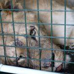 Torture agli animali: liberate quattro leonesse da un circo francese