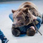 Russia, orso non riconosce il suo domatore con la mascherina e lo sbrana