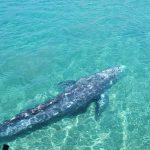 Wally, la balena che fu avvistata a Ponza, rischia di morire